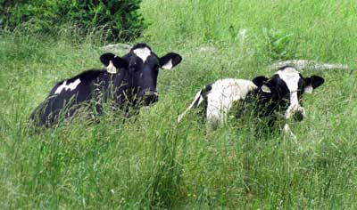 Cows in pasture. Photo by Bet Zimmerman